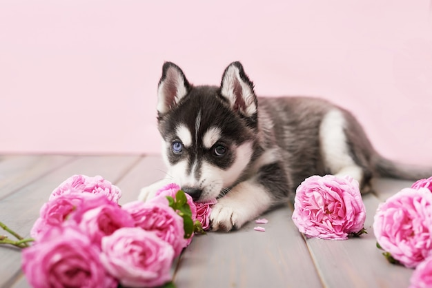 Husky dog puppy and pink tea roses.
