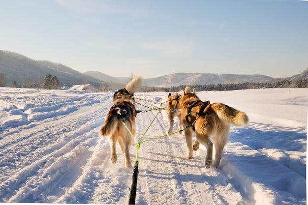 Husky dog sledge