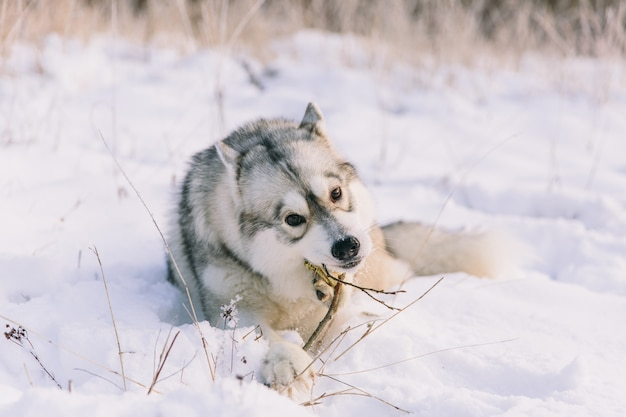 Husky dog on snowy field in winter forest. pedigree dog lying on the snow