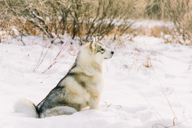Husky dog on snowy field in winter forest. pedigree dog sittign on the snow