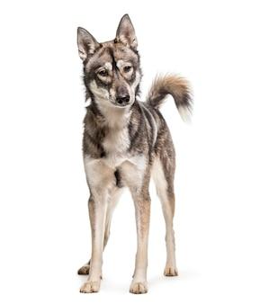 Хаски собака стоя
