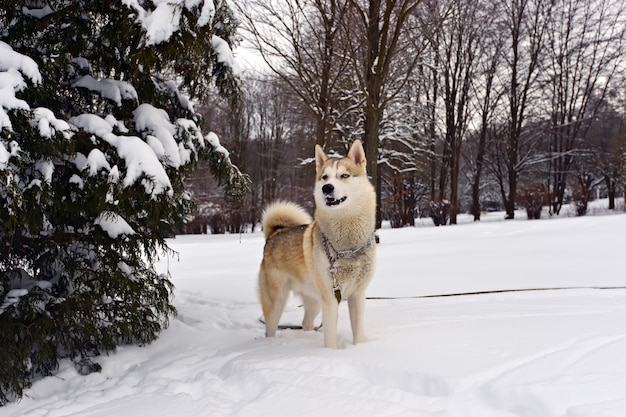 Husky dog for a walk in the park