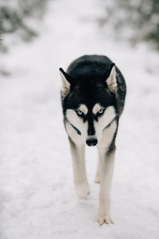 Husky dog walking on snow in winter cold day