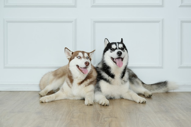 Собаки хаски лежа