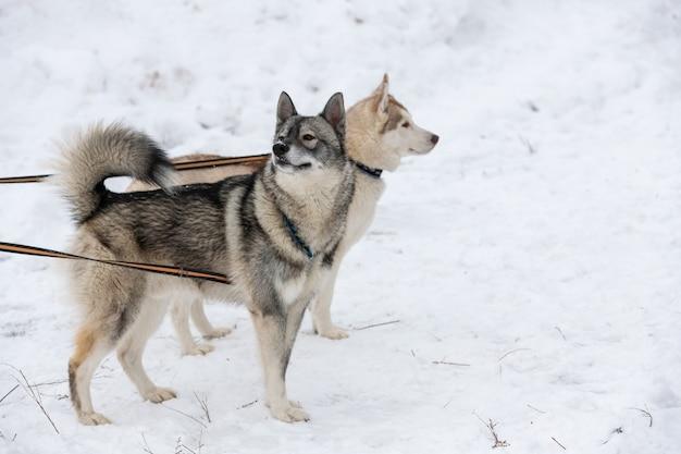 Хаски на тросе в ожидании гонки на собачьих упряжках, зимний фон.