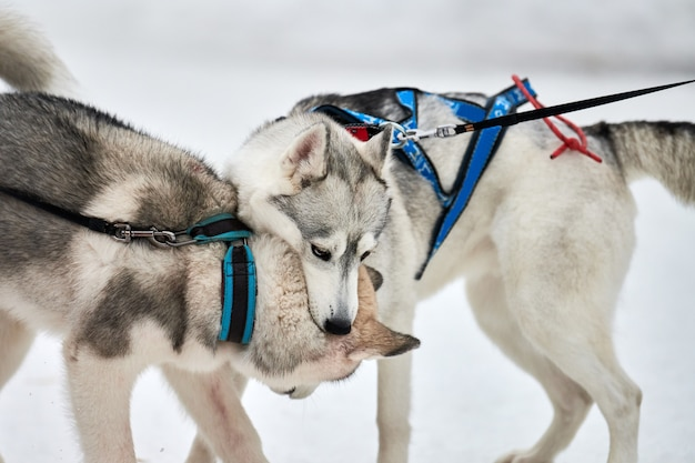 Husky dogs playing in snow
