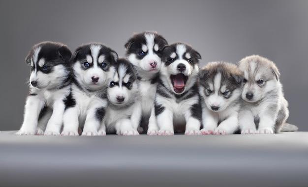 Стенд для щенков семейства хаски в серой стене.