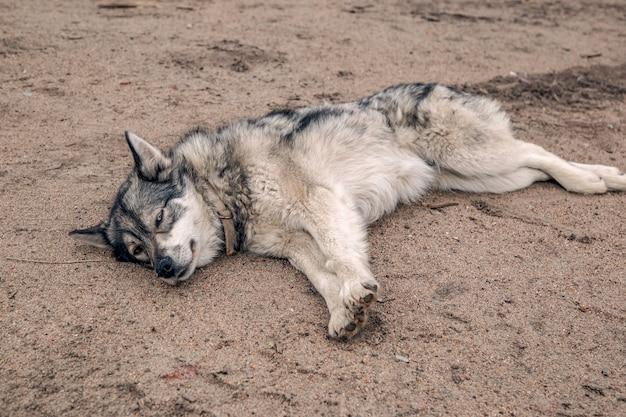 Хаски отдыхает на пляже