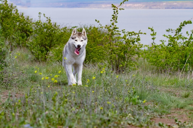 Husky is running through the grass. close-up. dog walks in nature. siberian husky runs to the camera. active walks with the dog.