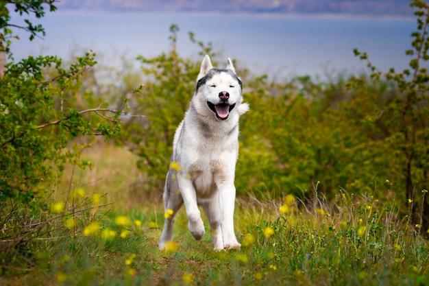 허스키는 잔디를 통해 실행됩니다. 확대. 개는 자연 속에서 산책. 시베리안 허스키가 카메라로 달려갑니다. 강아지와 함께 산책.