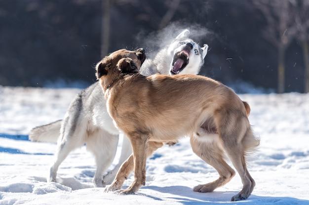 Хаски играет с другой собакой в снегу против солнца