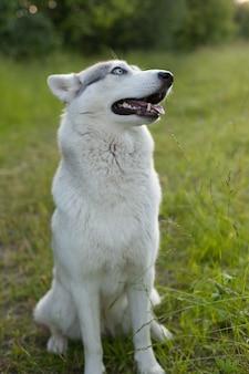 허스키 초상화. 가을 공원에서 산책 젊은 허스키 개. 허스키 품종. 가벼운 솜털 개. 개와 함께 걸 으세요. 가죽 끈에 개