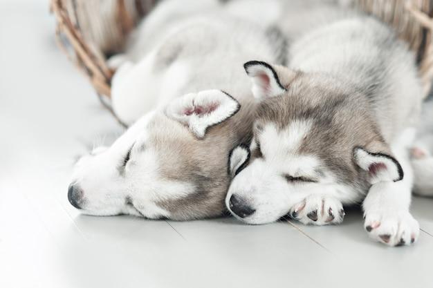 Husky puppies sleeping