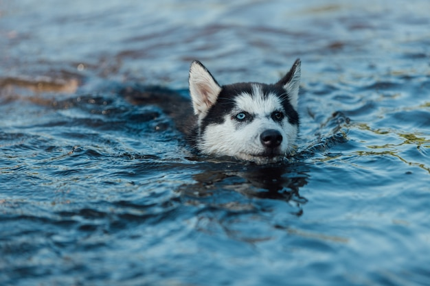 Husky puppy dog with different colored eyes due heterochromia floats in water.