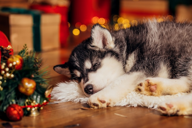 Husky puppy sleeping next to christmas tree