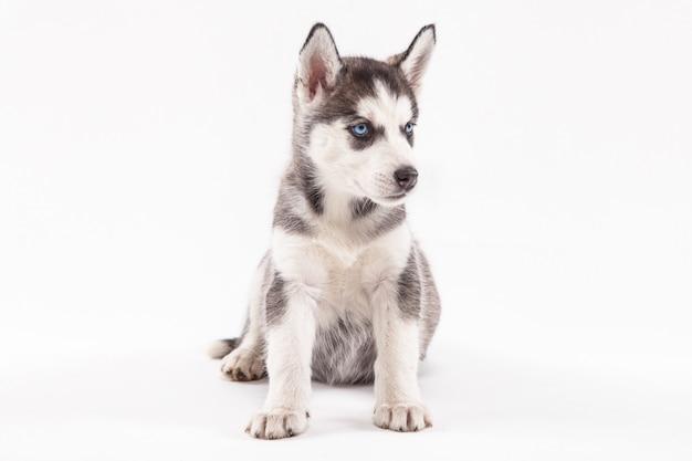 Husky puppy on white