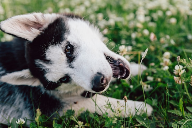 Husky puppy with multi-colored eyes frolics on the lawn with white clover flowers.