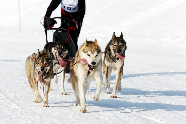 겨울에 고산 산에서 허스키 경주