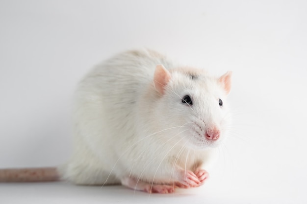 Husky rat, 12 months old, in front of white background.