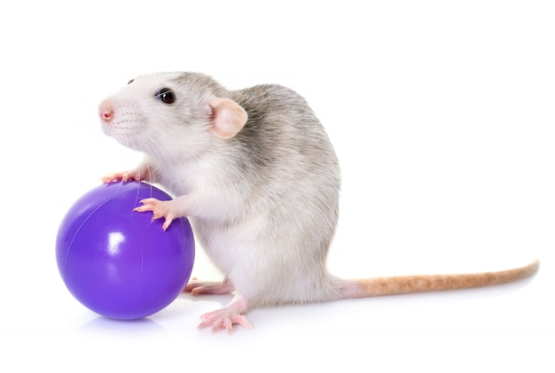 Husky rat with toy