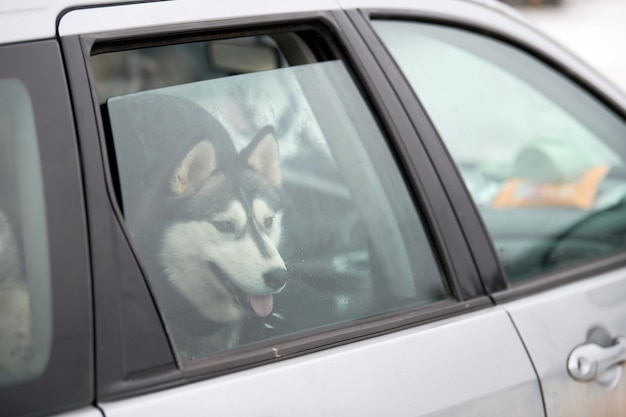 Husky sled dog in car, travel pet. dog locked inside car, looking out car window and waiting for walking. funny husky dog travel trip concept