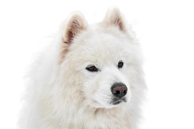 Изолированная морда собаки на собачьих упряжках хаски. сибирский хаски собака породы белый фон, морда портрет
