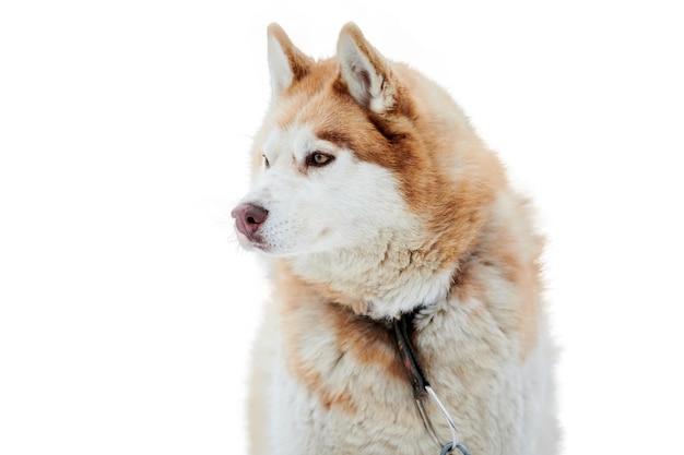 Изолированная морда собаки на собачьих упряжках хаски. сибирский хаски собака породы белый