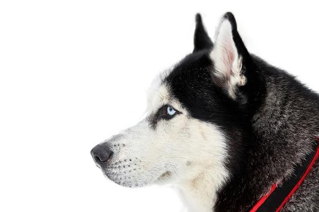 Морда хаски на собачьих упряжках, изолированные