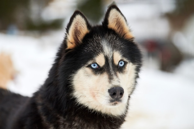 Лицо хаски собачьих упряжках, зимний фон. сибирский хаски собака породы открытый морда портрет. красивый забавный питомец на прогулке перед соревнованиями гонки.