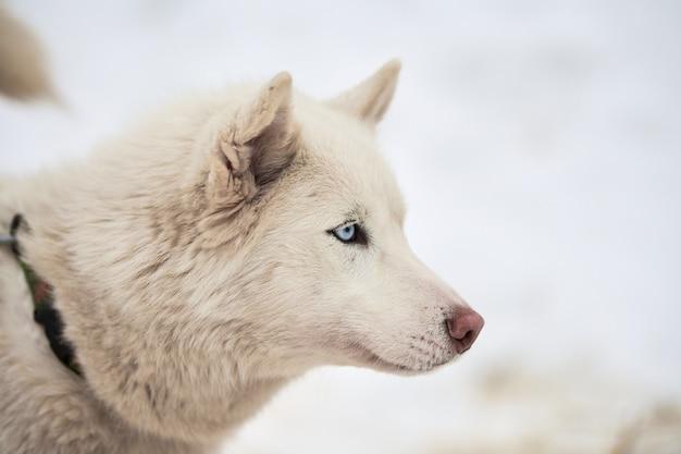 Лицо хаски на собачьих упряжках, зимний фон