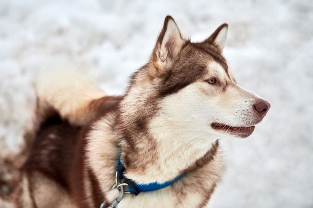 Husky sled dog face, winter. siberian husky dog breed outdoor muzzle portrait