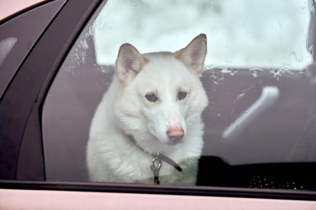 車のハスキーそり犬、旅行ペット。犬は車の中に閉じ込められ、車の窓の外を見て、歩くのを待っています。面白いハスキー犬の旅行旅行の概念