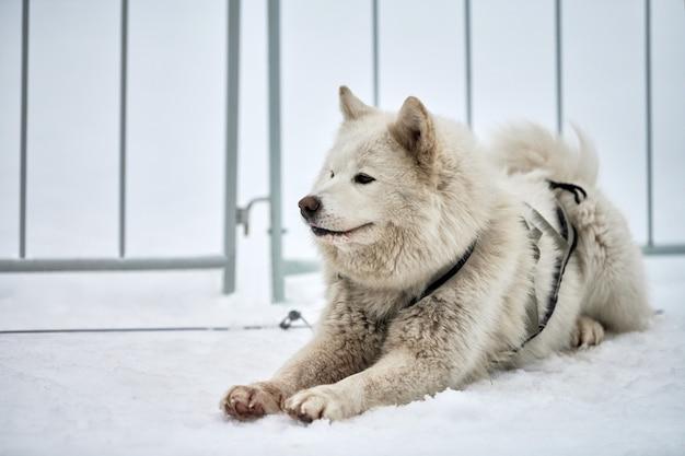 雪の中でハスキーそり犬