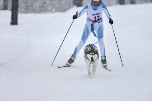 Собака хаски тянет погонщика на лыжах