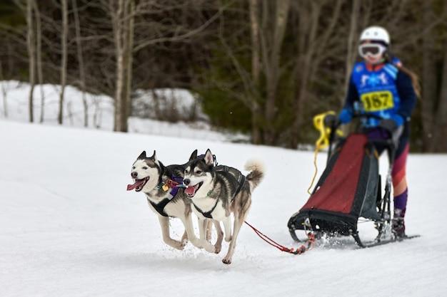 ハスキー犬ぞりレース。冬の犬のスポーツそりチームの競争。シベリアンハスキー犬は犬ぞり旅行者とそりを引っ張る。雪に覆われたクロスカントリートラック道路をアクティブに走る
