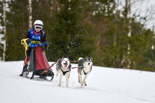 Гонки на собачьих упряжках хаски. командные соревнования по зимнему собачьему спорту. сибирские хаски тянут нарты с каюром. активный бег по заснеженной трассе для пересеченной местности