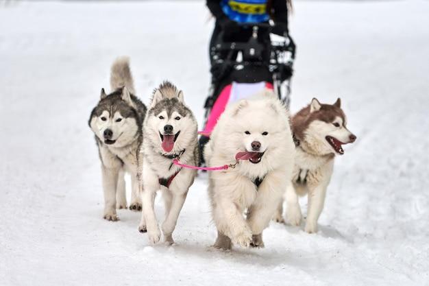 Собачьи бега на собачьих упряжках. командные соревнования по зимнему собачьему спорту на собачьих упряжках. сибирские хаски тянут нарты с каюром