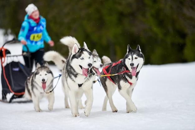 Собачьи бега на собачьих упряжках. командные соревнования по зимнему собачьему спорту на собачьих упряжках. Premium Фотографии