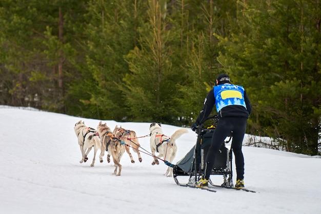 Собачьи бега на собачьих упряжках. командные соревнования по зимнему собачьему спорту на собачьих упряжках.