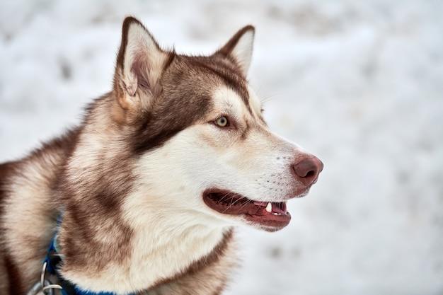 Хаски ездовая собака, стоя на открытом воздухе