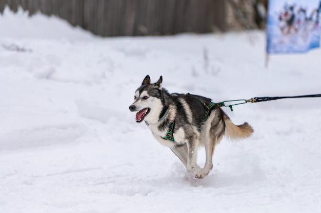 Husky sled dogs team in harness run and pull dog driver.