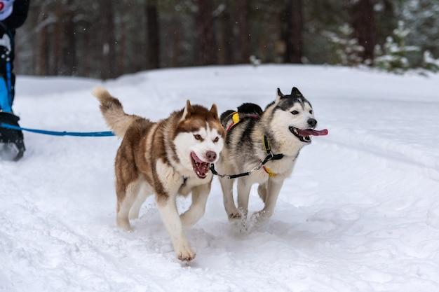 ハーネスランとプルドッグドライバーのハスキーそり犬チーム
