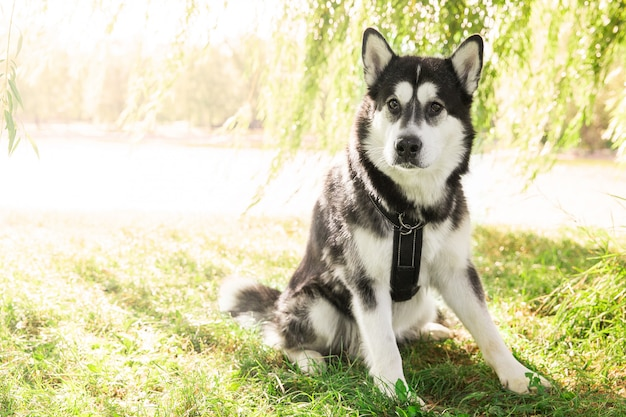 Husky собака, сидящая на траве в парке