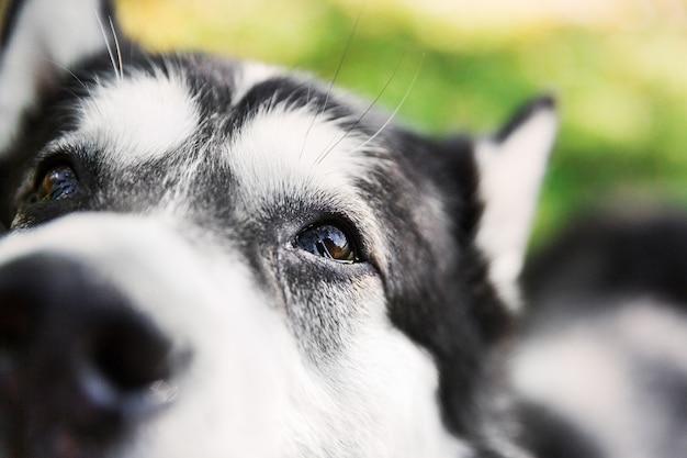 Черная и белая собачка. husky собака лицо. собака в парке