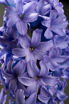 Hyacinth blue purple flower closeup macro on black