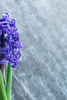 Гиацинт обыкновенный или голландский гиацинт цветы на темном деревянном фоне. концепция привет весны. минимальная концепция. открытка, цветочный фон, копией пространства
