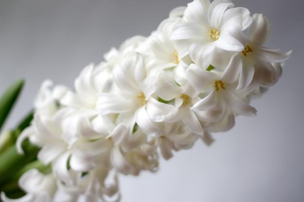 ヒヤシンスの花。古い穀物効果。ヴィンテージのフィルタリングされた画像