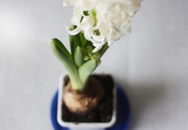 Hyacinth flower. old grain effect. vintage filtered image