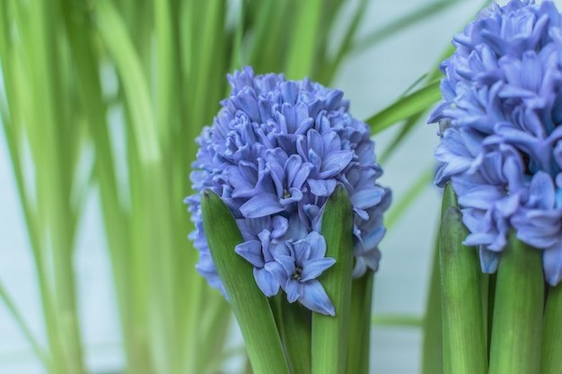 Hyacinth flowers in a fresh background