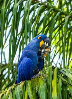 スミレコンゴウインコはヤシの木に座ってナッツを食べています